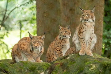 Three young lynx is attentively in the forest