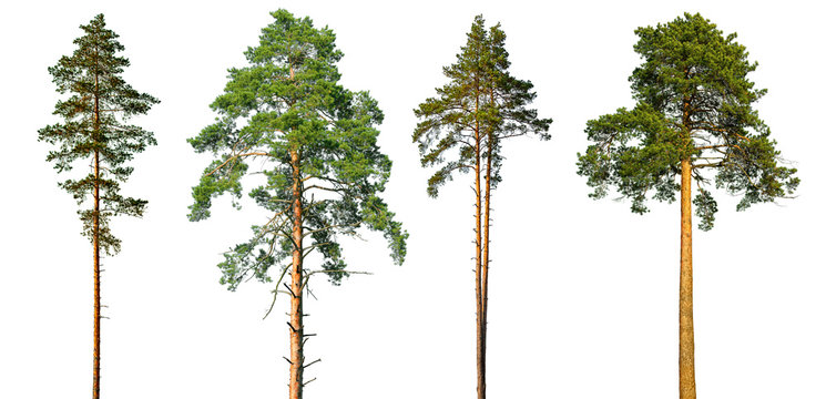 Set of tall pine trees isolated on a white background.
