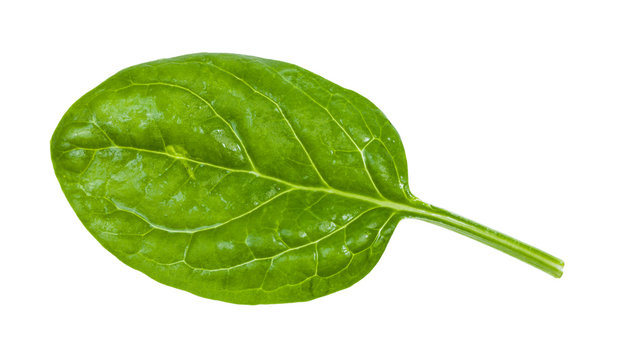 green leaf of young spinach isolated on white