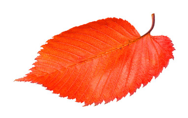 red fallen leaf of elm tree isolated on white