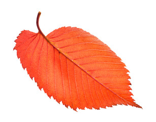 back side of red fallen leaf of elm tree isolated