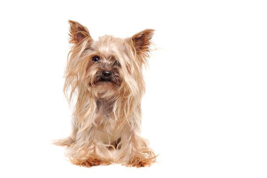 Hairy yorkshire terrier puppy before grooming procedures