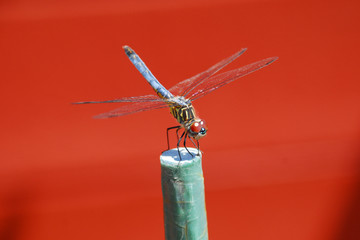 close up photo of blue dragonfly resting on a stick in the garden with red background