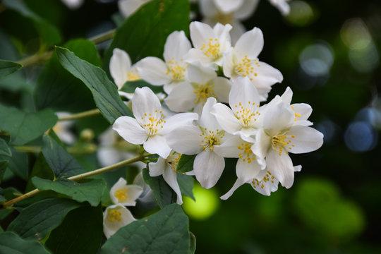 Jasmine -  absolute Egyptian (Jasmine grandiflorum) flowers