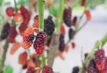 Fresh organic black and red mulberry fruit bunch on plant,selective focus