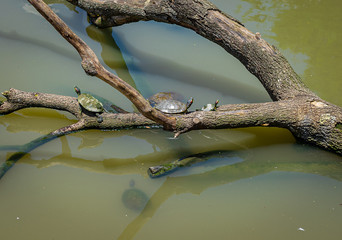 Turtles Sunning on Log