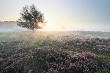 Wall Mural - beautiful serene misty sunrise over meadows with flowering heather