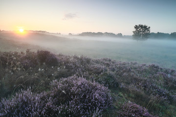 Wall Mural - misty sunrise over pink heather flowers on hills