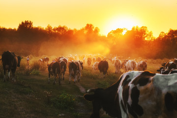 Epic scene of cattle farm - livestock of cows going home from meadows pasture in evening. Amazing sunset scenery. Countryside background. Dairy natural bio production. Fototapete