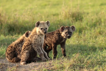 Spotted hyena cubs, Masai Mara National Park, Kenya.