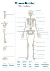 Human skeleton worksheet vector illustration. Blank educational bone scheme