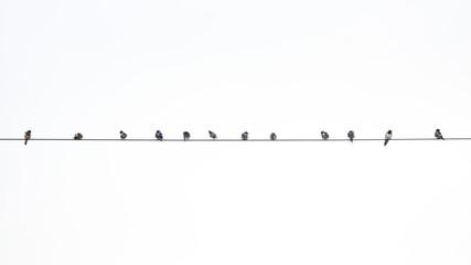 group of bird on power line