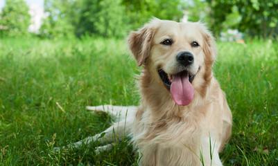 Cute golden retriever in the grass