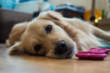 Golden retriever dog looking sad