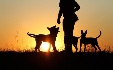 Silhouettes of puppies at sunset, three puppies, Belgian Shepherd Dog Malinois puppies, many dogs,...