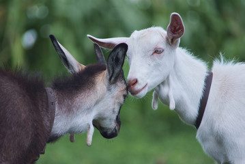 black and white goats hugging. friendship concept.
