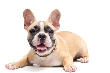 Autocollant pour porte Bouledogue français cute french bulldog sitting isolated