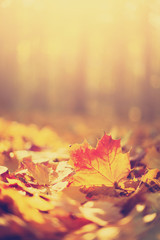 Autumn maple leaves in sunlights, sunny bokeh. Beautiful nature background with forest ground. Banner. Concept of fall season. Golden autumn card