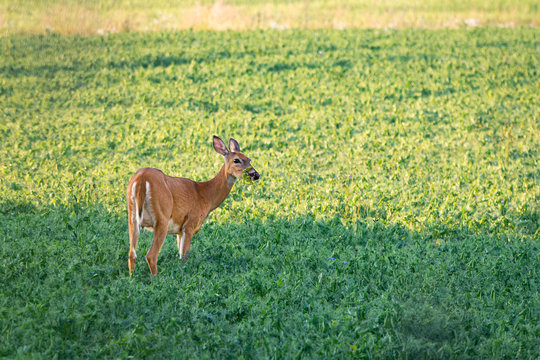 Deer Eating Peas on Field