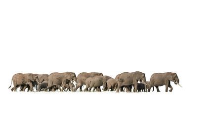 Isolated on white background, huge herd of african elephants walking in savanna. Kenya wildlife, Amboseli.