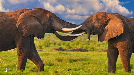 In de dag Diepbruine African safari at the foot of a volcano Kilimanjaro, green season in Amboseli national park. Portrait of two huge african elephants, touching their trunks to each other against dramatic sky. Kenya.