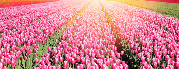 Banner with big field of pink tulips