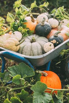 Organic raw pumpkins in an autumn garden. Harvest of pumpkins