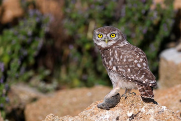 Fototapete - Young Little owl, Athene noctua, stands on a stone and holds a mouse in his paw