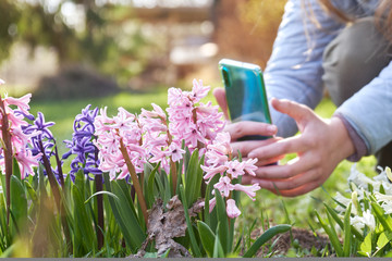Young girl taking a photo using a smartphone of blossoming hiacinth flowers in the garden