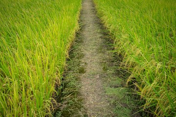 Raw grain rice flied agriculture plant in the nature..