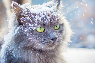Gray snow-covered cat with green eyes in winter outdoors_ Wall mural