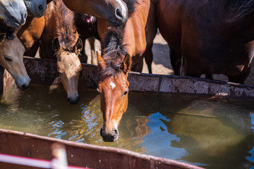 The horses on the farm drink water from the trough.