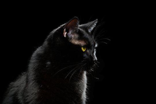 Black domestic cat looking forward
