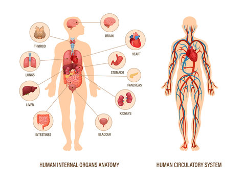Human body anatomy infographic of structure of human organs