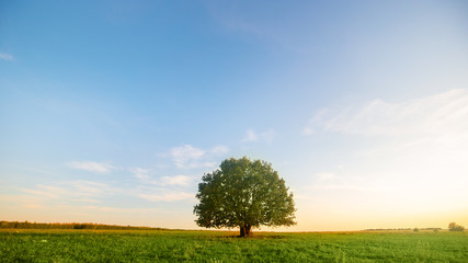 Foto op Aluminium Bomen Lonely green oak tree in the field