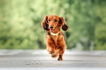 beautiful dog portrait breed long-haired dachshund of red color on a walk in the city stone jungle funny dog