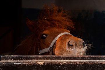 Funny curious pony pulled his nose out of the stable