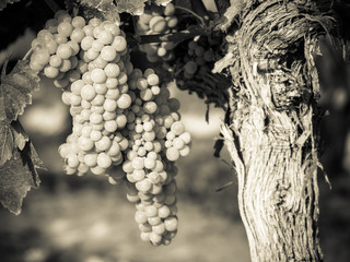 Grapes in a vineyard in a black and white image