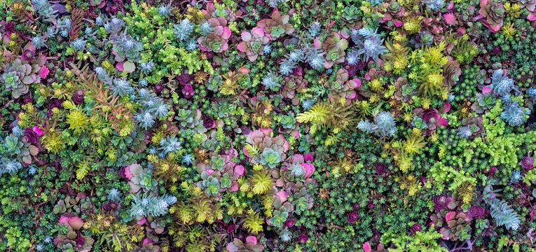 Variety of sedum plants (Sedum sp.) growing in rock garden in central Virginia