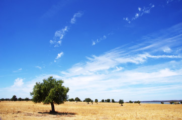 Olive tree in field at south of Portugal