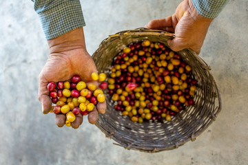 Farmer Showing his Yellow and Red Organic Coffee Fruit Harvest in Coroico, Bolivia
