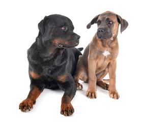 Fototapete - rottweiler and cane corso