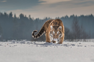 Foto op Plexiglas Tijger Siberian Tiger running in snow. Beautiful, dynamic and powerful photo of this majestic animal. Set in environment typical for this amazing animal. Birches and meadows