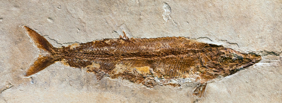 Fossil of Furo microlepidotus, an extinct fish from the Jurassic period.