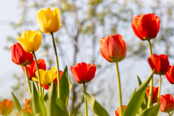 Foto op Aluminium Lente Red and yellow tulips on a green background
