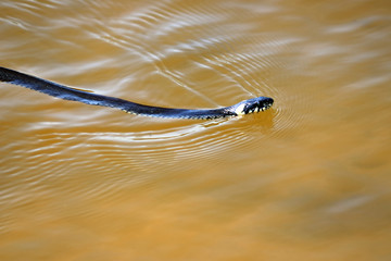 snake floating in the lake