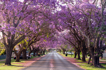 Jacaranda trees in full blossom in Grafton during spring and the Jacaranda festival, Australia