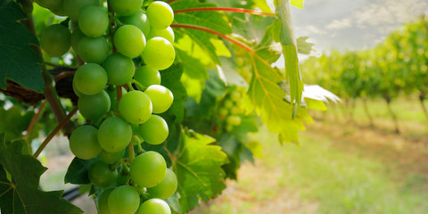 cluster of green grapes on a vine  Wall mural
