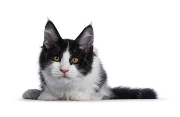 Wall Mural - Cute black and white solid bicolor masked Maine Coon cat kitten, laying down facing front. Looking straight in lens with curious eyes. Isolated on white background.