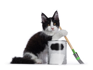Wall Mural - Cute black and white solid bicolor masked Maine Coon cat kitten, sitting side ways behind paint can and holding brush with front paw. Looking at camera with curious eyes. Isolated on white background.